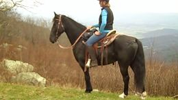 Black Tennessee Walker in Stanley, VA