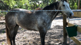 Grey Quarter Horse in Okeechobee, FL