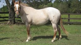 Roan Quarter Horse in Houston, TX