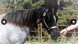 Roan Quarter Horse in Whitesboro, TX