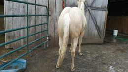 Palomino Quarter Horse in Woodbury, TN