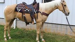 Palomino Quarter Horse in Mount Vernon, KY