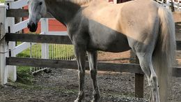 Grey Thoroughbred in West Newbury, MA