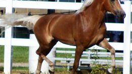 Chestnut Haflinger in LEXINGTON, TN