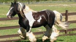Black Gypsy Vanner in Wellandport, AE