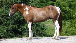 Other Quarter Horse in Charleston, WV