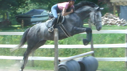 Grey Trakehner in Baldwinsville, NY
