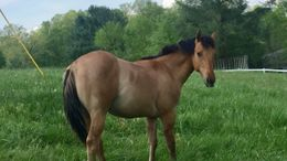 Dun Quarter Horse in Greensburg, KY