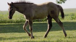 Grulla Quarter Horse in Nevada, IA
