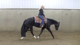 Black Quarter Horse in Cohoctah, MI