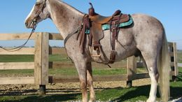 Roan Tennessee Walker in FLEMINGSBURG, KY