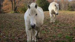 White Percheron in Red Hook, NY