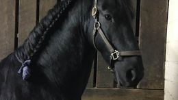 Black Friesian in Simpsonville, KY