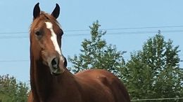 Chestnut Thoroughbred in Nashville, TN
