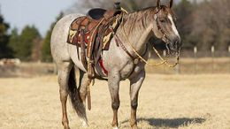 Roan Quarter Horse in Virginia Beach, VA