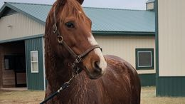 Chestnut Andalusian in Poolesville, MD