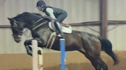 Bay Warmblood Cross in Saugerties, NY