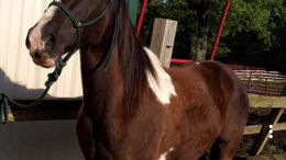 Pinto Quarter Horse in Collierville, TN