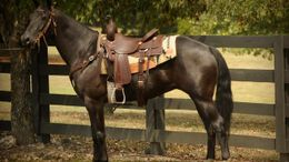 Black Quarter Horse in Sauk Village, IL