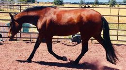 Bay Andalusian in Parks, AZ