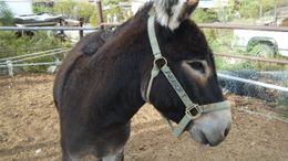 Donkey Horses for Sale - Equine com