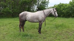 Grey Quarter Horse in Cincinnati, IA