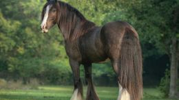 Black Gypsy Vanner in MORRISON, FL