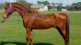 Chestnut American Saddlebred in Lutz, FL