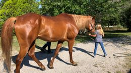 Sorrel Quarter Horse in Deland, FL