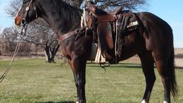 Bay Quarter Horse in LEXINGTON, NE