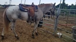 Grey Quarter Horse in Granbury, TX