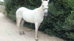 White Tennessee Walker in Rancho Cucamonga, CA