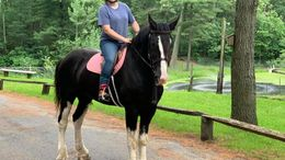 Black Clydesdale in boxford, MA