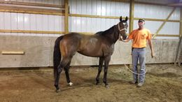 Bay Thoroughbred in Walnut hill, IL