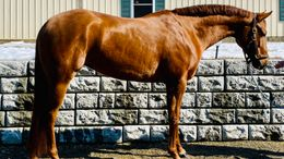 Chestnut Quarter Horse in Northfield, MA