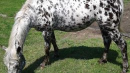 Other Appaloosa in Greenfield Township, PA