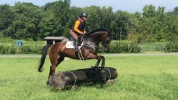 Bay Irish Sport Horse in Nottingham, PA