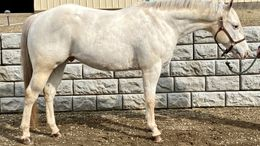 White Welsh Pony in northfield, MA