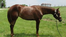 Chestnut Quarter Horse in Williamsport, IN