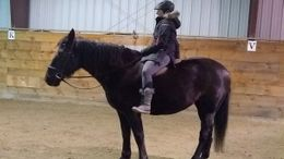Black Percheron in Amherst, NH