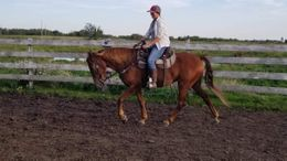 Chestnut Tennessee Walker in Viking, AE