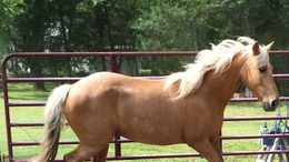 Palomino Kentucky Mountain Saddle Horse in Lancaster, SC