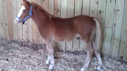 Chestnut Welsh Pony in Harrison, AR