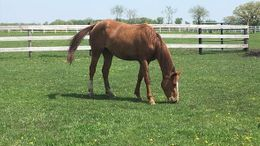 Chestnut Quarter Horse Cross in Richmond, IL
