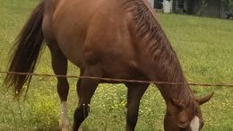 Sorrel Quarter Horse in McDonough, GA