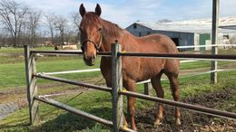 Chestnut Thoroughbred in Auburn, NY