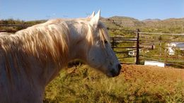 White Appaloosa in wikieup, AZ