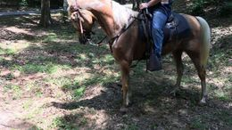 Palomino Tennessee Walker in Denver, CO