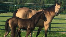 Buckskin Friesian Cross in Lincoln, ME