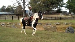Pinto Tennessee Walker in Luray, VA